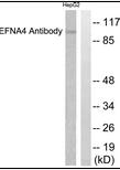 AP39029PU-N - Ephrin-A4