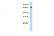 AP43373PU-N - Arylsulfatase H