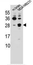 AP50743PU-N - Cerebellin-2