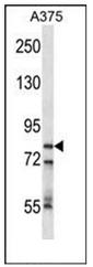 AP51057PU-N - CPSF3