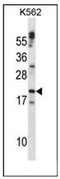 AP51121PU-N - Cardiotrophin-1