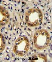 AP51144PU-N - CD183 / CXCR3