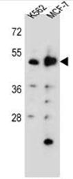 AP51305PU-N - Aspartyl aminopeptidase