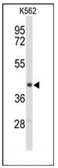 AP51438PU-N - ENTPD2 / CD39L1