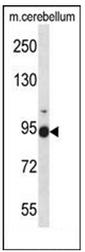 AP51615PU-N - Fibulin-1