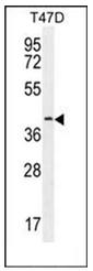 AP51616PU-N - Fibulin-7