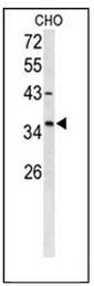 AP51714PU-N - FOXL1 / FKHL11