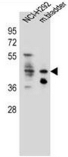 AP51836PU-N - Ghrelin receptor / GHSR