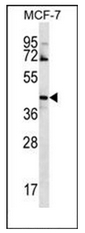 AP51871PU-N - G protein alpha 14