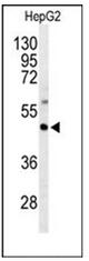 AP51878PU-N - G protein z alpha