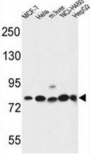 AP51909PU-N - Gephyrin