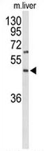 AP51922PU-N - GPR160 / GPCR150