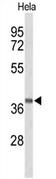 AP51930PU-N - GPR65 / Psychosine receptor