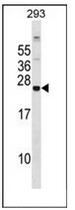AP51941PU-N - Glutathione peroxidase 8 / GPX8