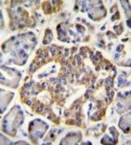 AP51953PU-N - NMDA Receptor 2A