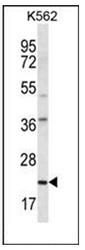 AP52053PU-N - HLA class II  DQ alpha 1 / HLA-DQA1