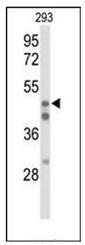 AP52067PU-N - HNF4 alpha / TCF14