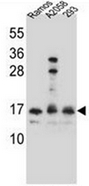 AP52072PU-N - Homeodomain-only protein / HOP