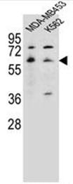 AP52128PU-N - Serotonin receptor 3A (HTR3A)