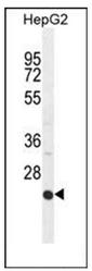 AP52140PU-N - CD102 / ICAM2