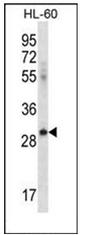 AP52143PU-N - CD275 / ICOS Ligand