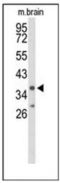 AP52196PU-N - CD132 / IL2RG