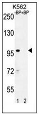 AP52225PU-N - IQCA