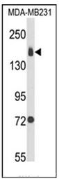 AP52250PU-N - CD49b / ITGA2