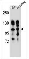 AP52251PU-N - CD49e / ITGA5