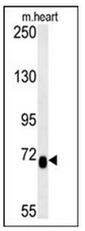 AP52449PU-N - Lebercilin-like protein