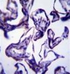 AP52465PU-N - Leptin