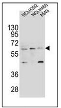 AP52479PU-N - CD85h / LILRA2