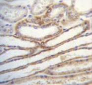 AP52796PU-N - Myosin-IIIB
