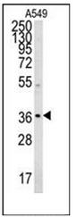 AP52872PU-N - Neugrin
