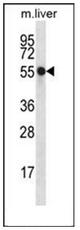AP52977PU-N - Nucleoredoxin
