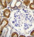 AP52999PU-N - Osteopontin / SPP1