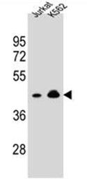 AP53002PU-N - Olfactory receptor 10A4
