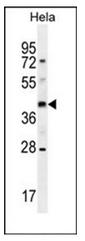 AP53008PU-N - Olfactory receptor 10H4