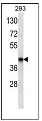 AP53010PU-N - Olfactory receptor 10J3