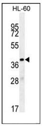 AP53011PU-N - Olfactory receptor 10J5