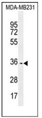 AP53015PU-N - Olfactory receptor 10Z1