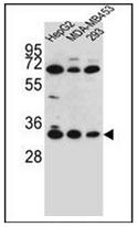 AP53039PU-N - Olfactory receptor 2T3