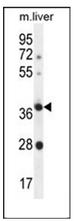 AP53046PU-N - Olfactory receptor 4A15