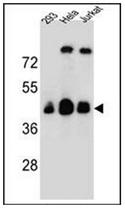 AP53049PU-N - Olfactory receptor 4C13