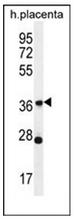 AP53062PU-N - Olfactory receptor 4L1