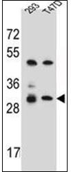 AP53066PU-N - Olfactory receptor 4P4