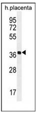 AP53085PU-N - Olfactory receptor 5AS1