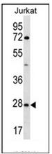 AP53099PU-N - Olfactory receptor 6T1