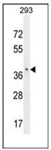 AP53107PU-N - Olfactory receptor 8B8