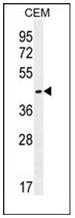 AP53109PU-N - Olfactory receptor 8H2